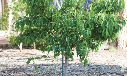 Think Small for Urban Orchards
